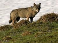 Wolf und Bettag